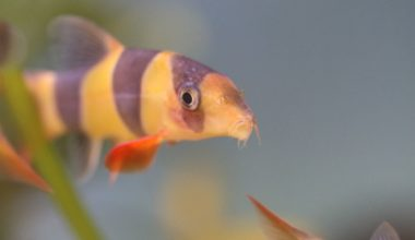 A Clown Loach swimming toward the glass in the tank