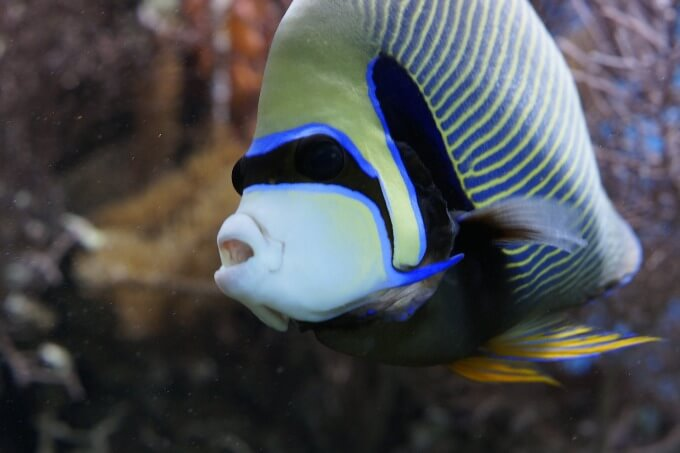 One Emperor Angelfish swimming and looking for food