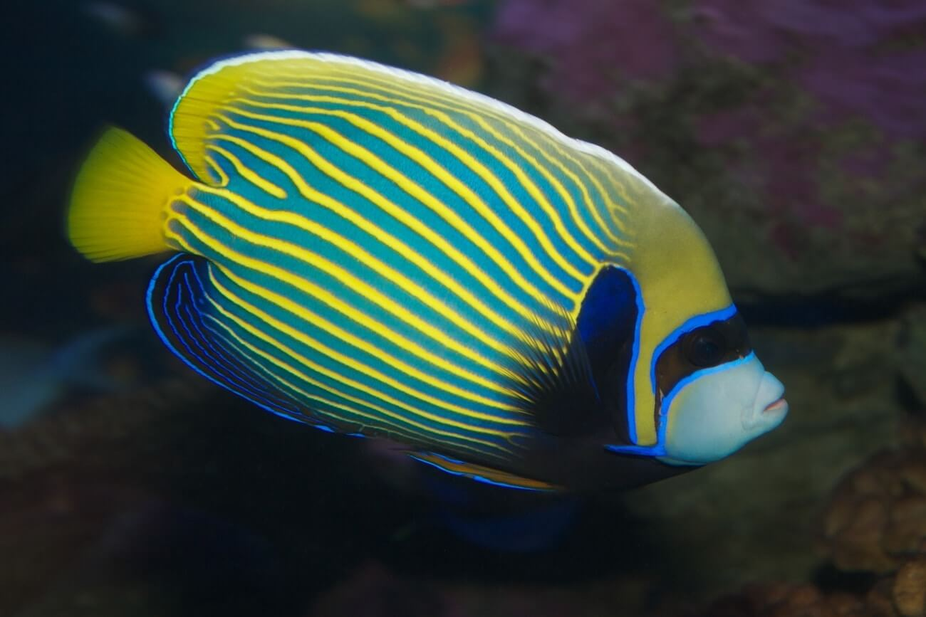 Side view of an Emperor Angelfish