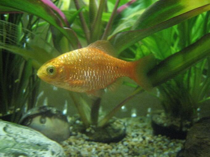 A female Rosy Barb swimming in a well-planted tank