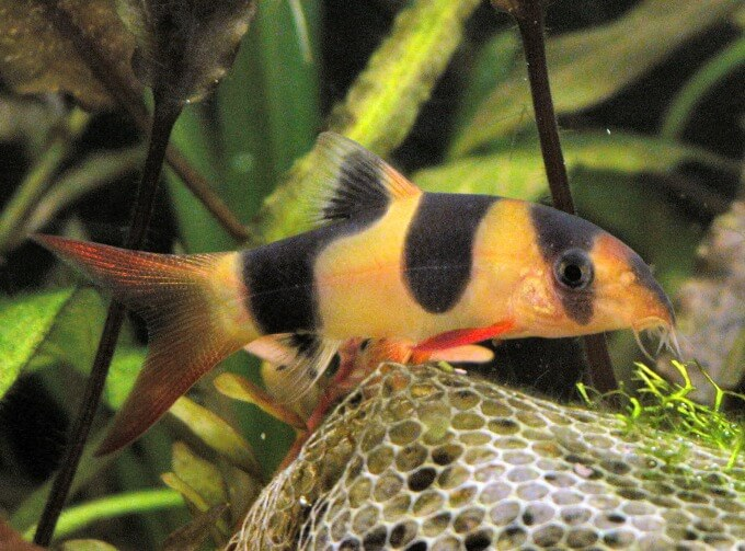 One freshwater Clown Loach in a well-planted aquarium