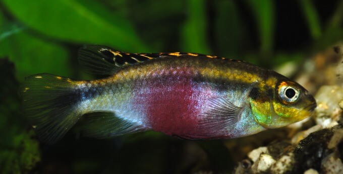 A Kribensis Cichlid looking for food in the tank