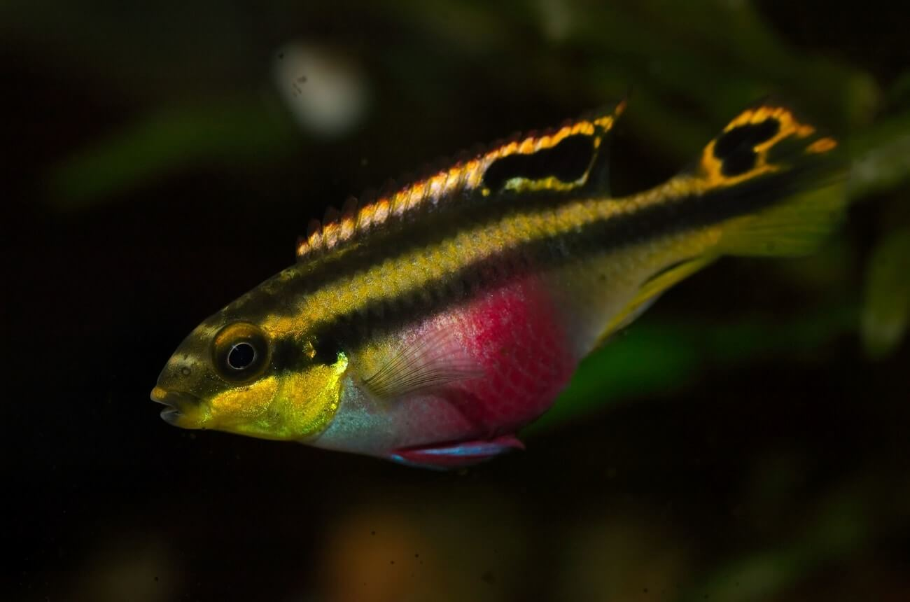 A Kribensis Cichlid swimming in a freshwater aquarium