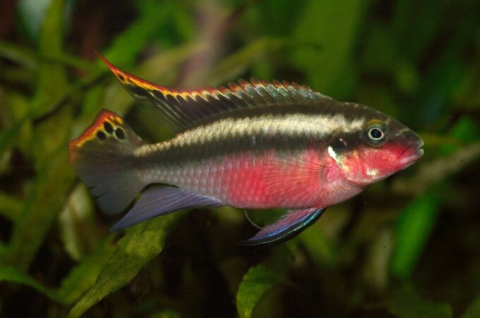 One male Pelvicachromis pulcher