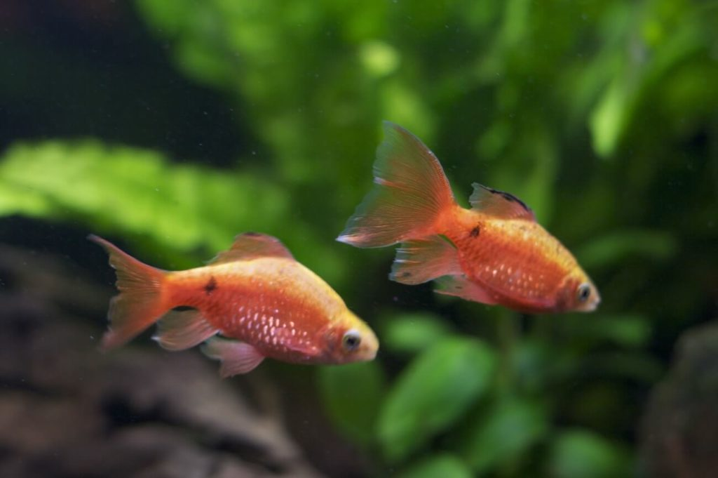 Two Rosy Barbs swimming together in a freshwater aquarium