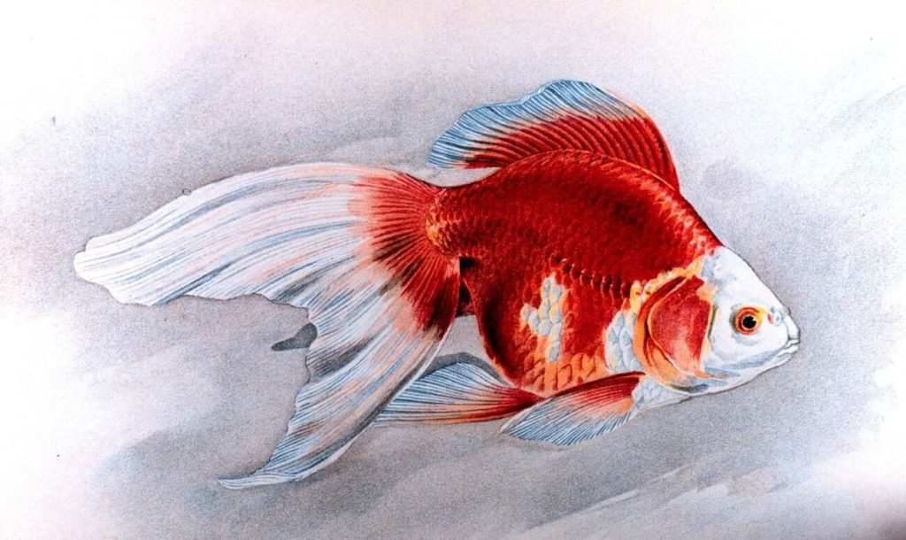 A sketch of a Ryukin Goldfish