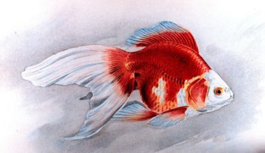 A sketch of a Ryukin Goldfish