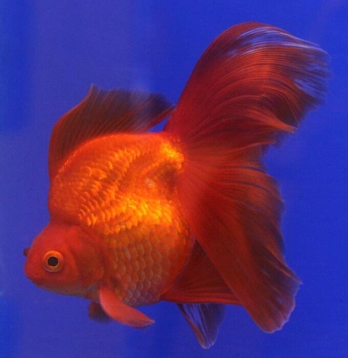 One Ryukin Goldfish swimming in a freshwater aquarium
