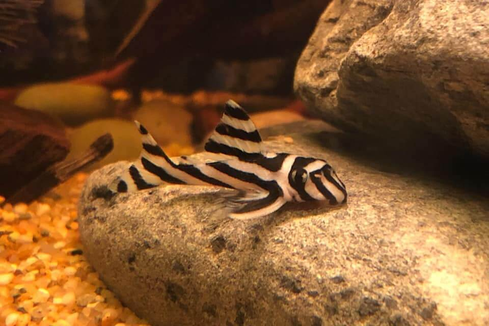 A Zebra Pleco at the bottom of a freshwater aquarium