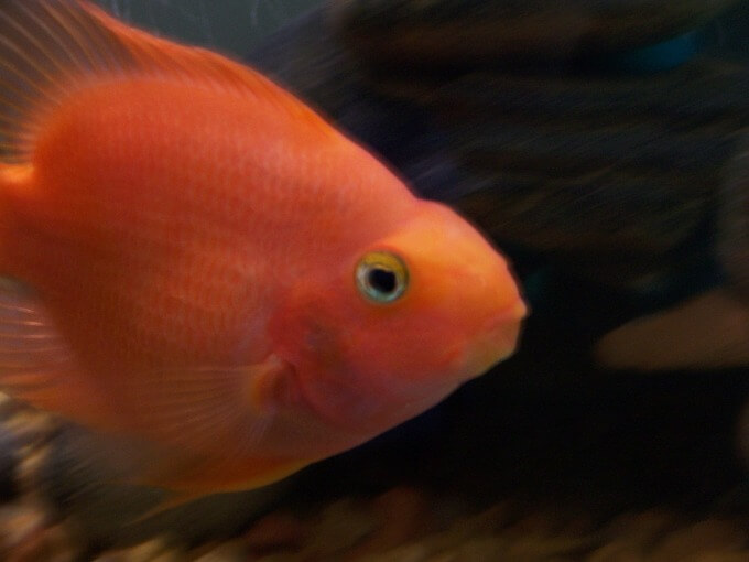 An adult male Blood Parrot Cichlid