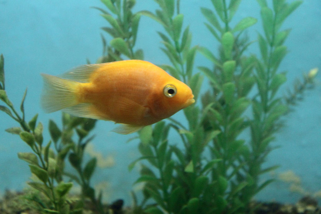 A Blood Parrot Cichlid swimming by itself in a freshwater aquarium