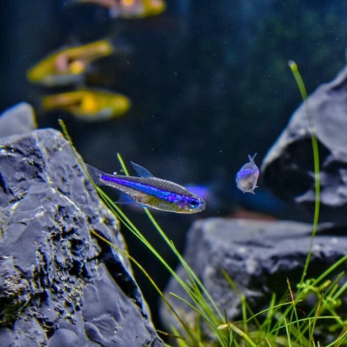 A couple of Blue Tetras swimming among other species