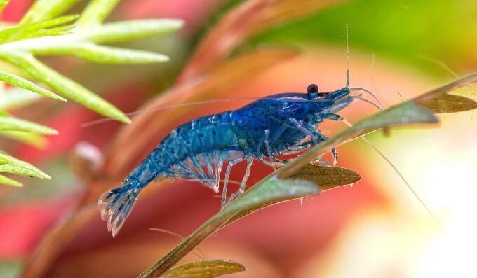 One Blue Velvet Shrimp climbing up a plant