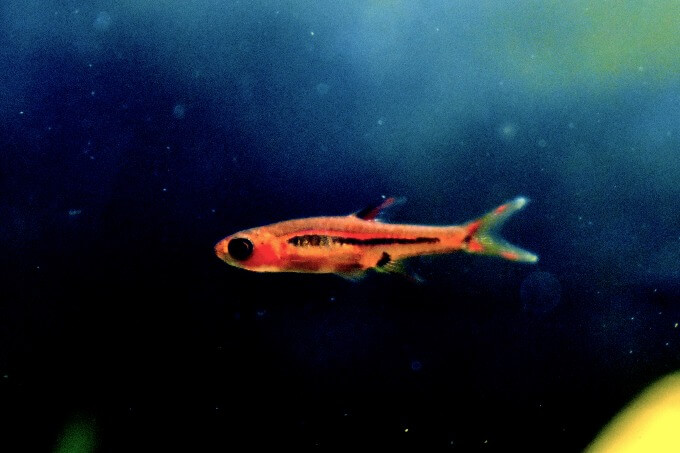 One Chili Rasbora looking for food
