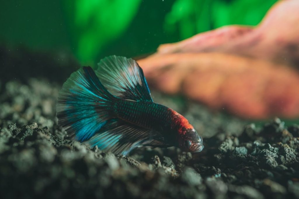 A betta swimming in a slightly cloudy fish tank