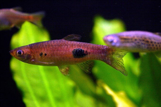 A Clown Rasbora swimming next to other types of rasboras