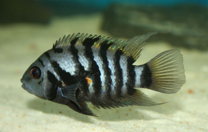 A Convict Cichlid being kept separated from other aggressive fish