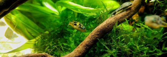 A small Dwarf Pea Puffer swimming in a heavily planted tank