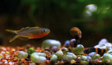 One Forktail Blue Eye Rainbowfish near the substrate
