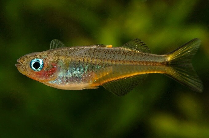 A Forktail Rainbowfish swimming in a planted aquarium
