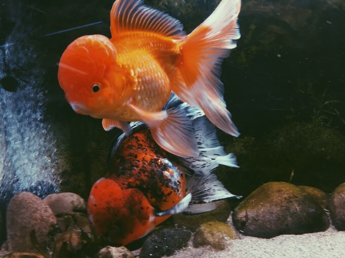 One goldfish displaying food dominance over another