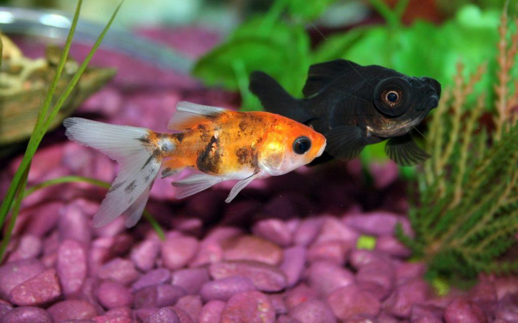 A goldfish turning black next to a completely black goldfish