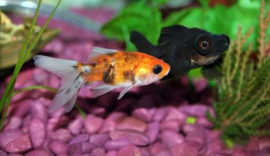 A goldfish turning black next to a completely black goldfish