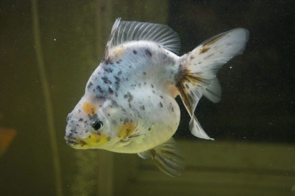 A goldfish in the later stages of turning white