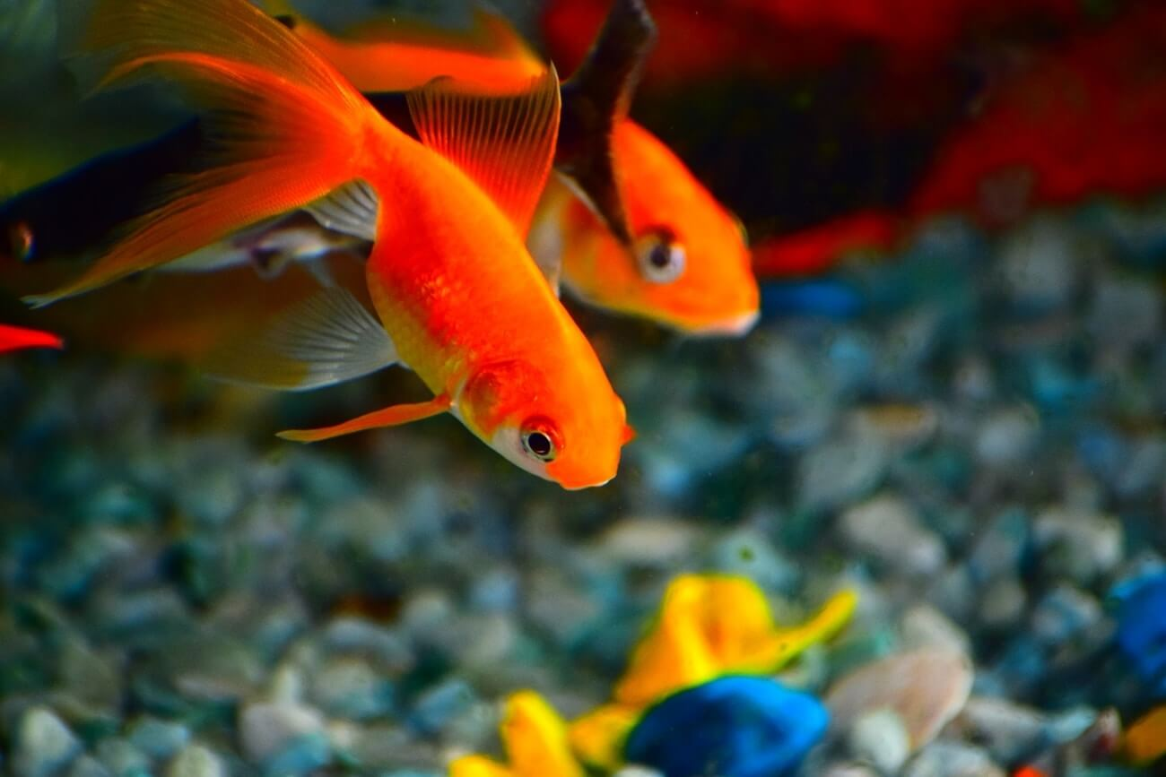 Two goldfish being fed often enough
