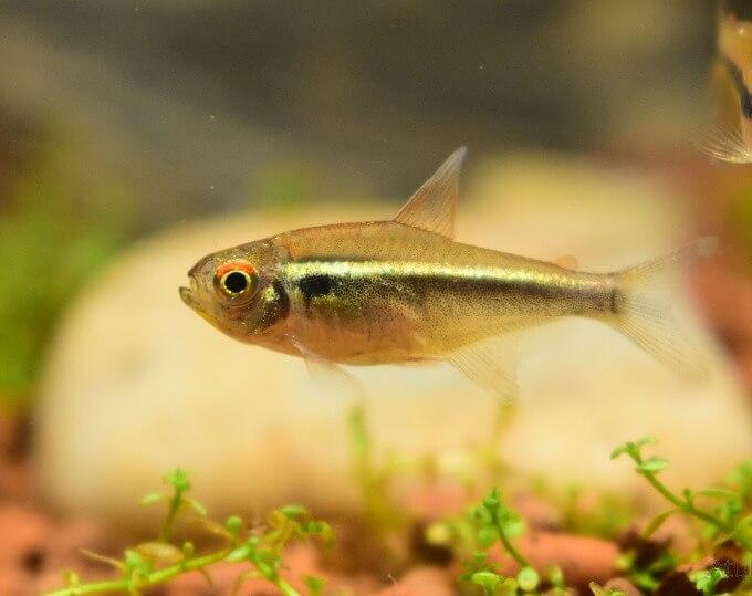 A healthy Hyphessobrycon herbertaxelrodi