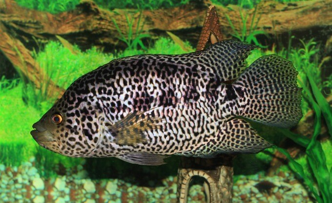 One Jaguar Cichlid moving toward the bottom of the tank