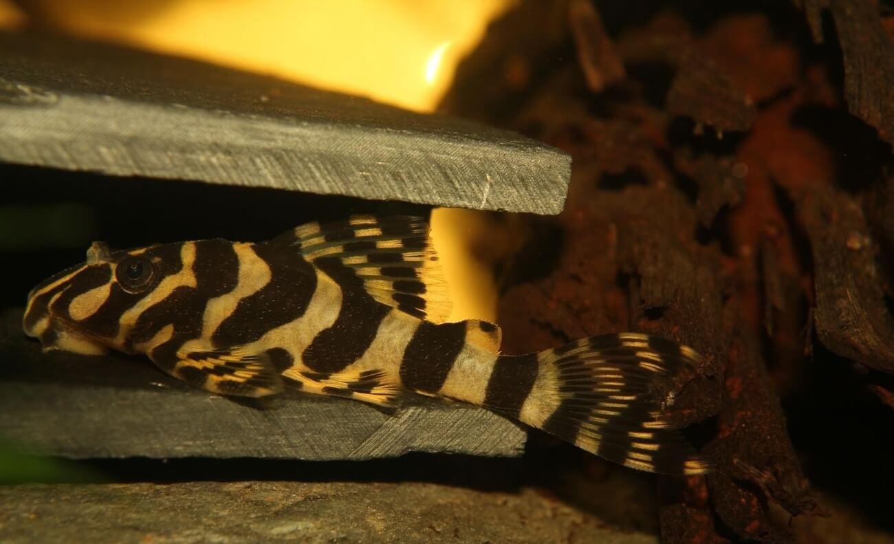 A Leopard Frog Pleco at the bottom of an aquarium