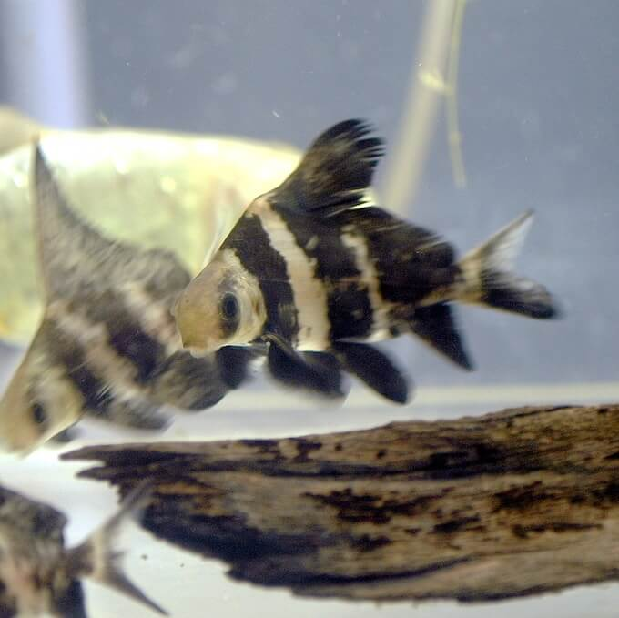 Two myxocyprinus asiaticus swimming together