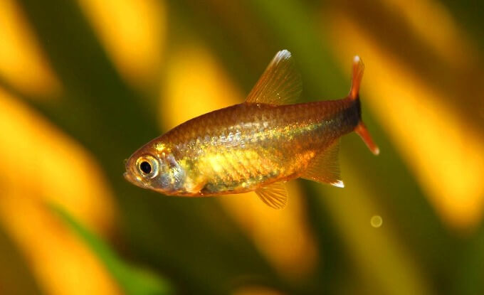 A Silvertip Tetra swimming away from other types of tetras