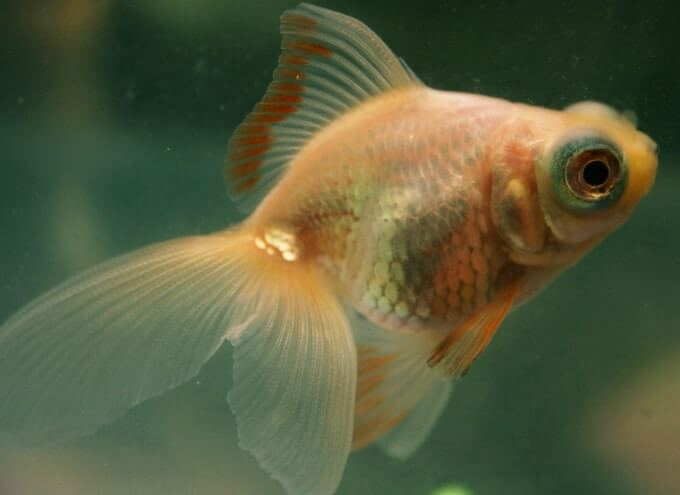 A goldfish turning more white and pale due to lighting conditions