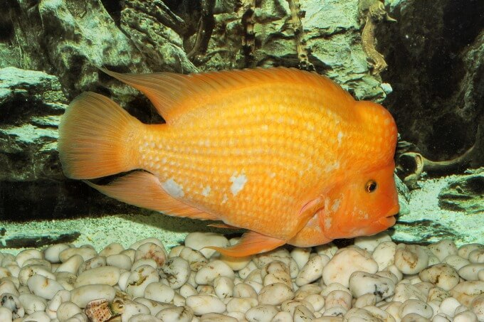 A very aggressive freshwater fish species known as the Red Devil Cichlid