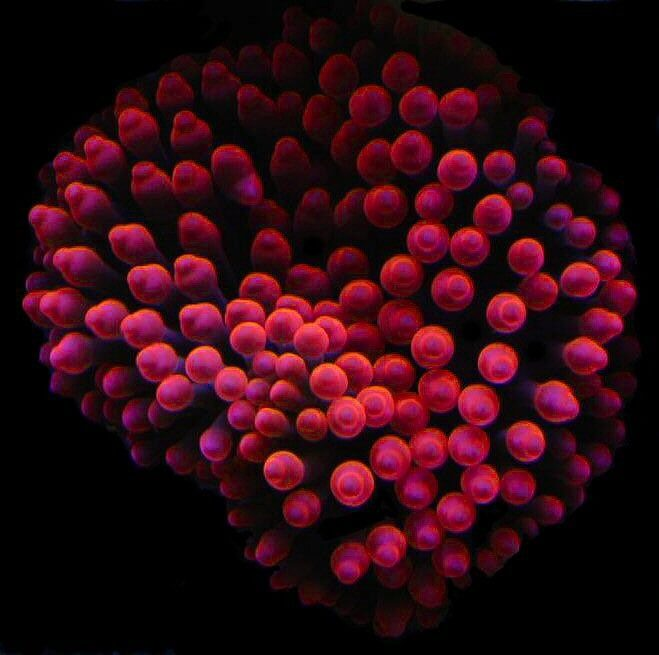 A rose bubble tip anemone