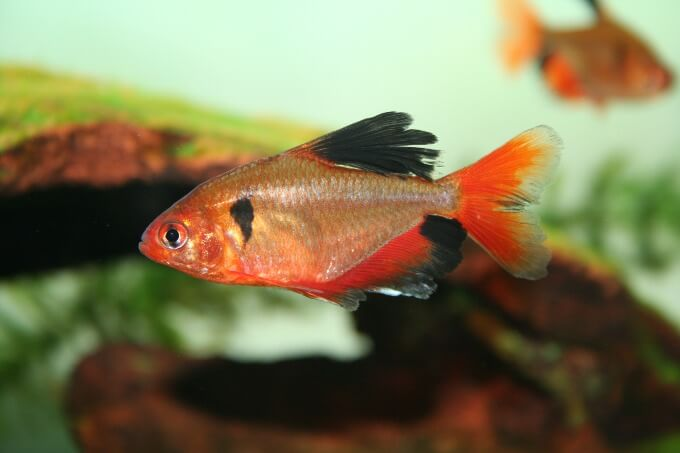 A healthy Serpae Tetra fish