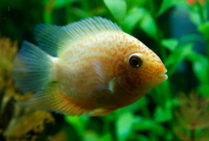 A small Severum fish