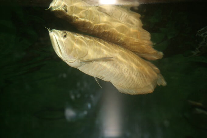 One Silver Arowana swimming near the surface of the tank