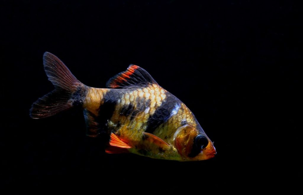 Aggressive Tiger Barb swimming in a dark aquarium