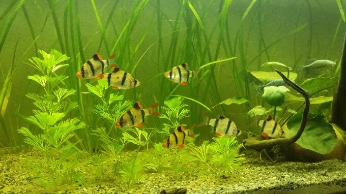 A group of Tiger Barbs