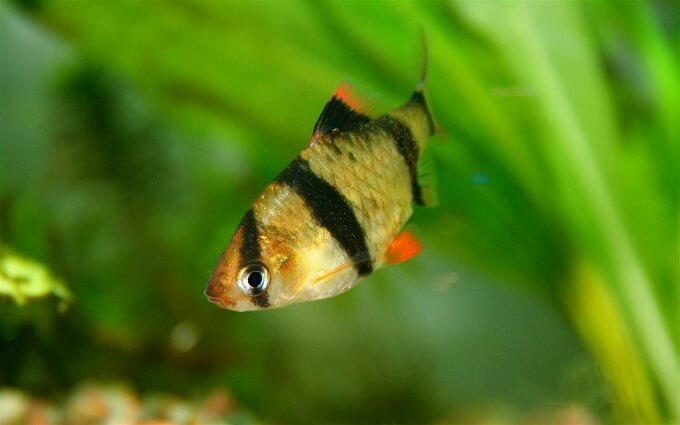 A colorful Tiger Barb swimming in a well-planted tank