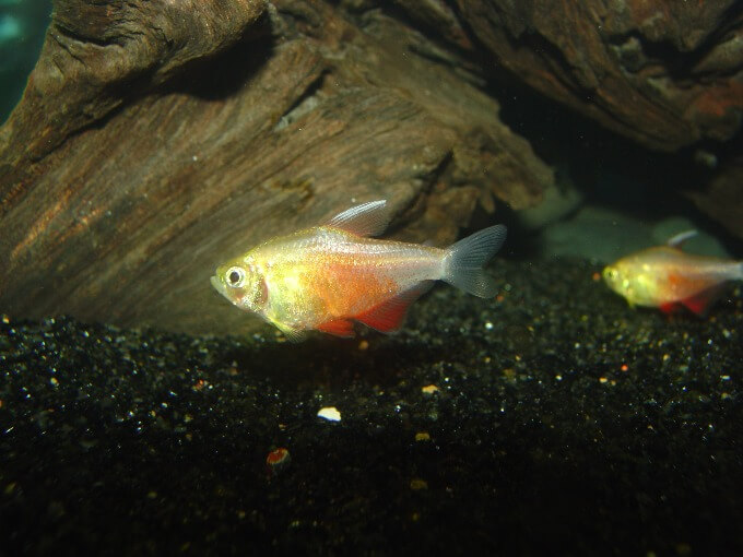 Two Flame Tetras near the bottom of the tank