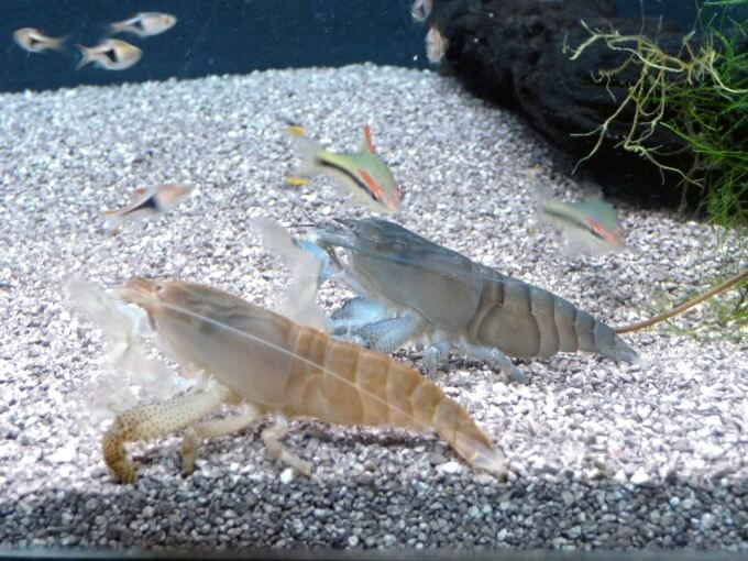 Two Vampire Shrimp standing next to each other