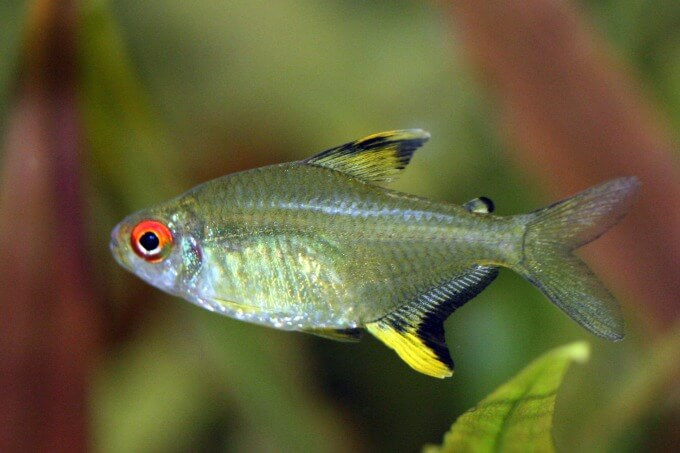 A colorful Lemon Tetra