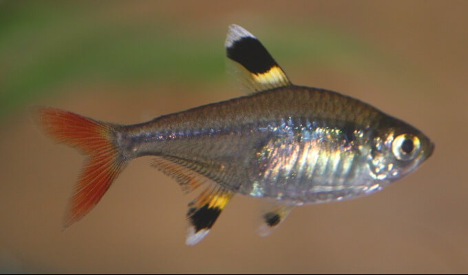 The X-Ray Tetra species