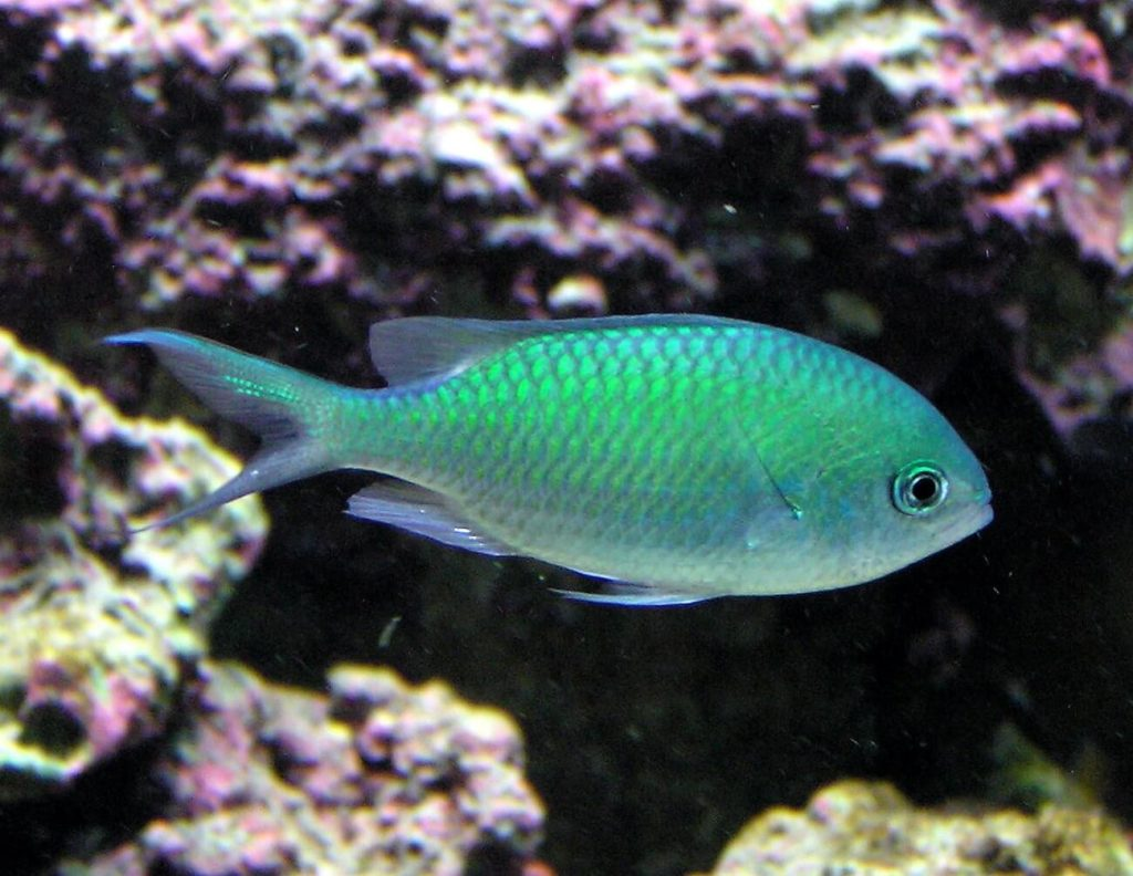 A Blue Green Chromis swimming in a saltwater tank