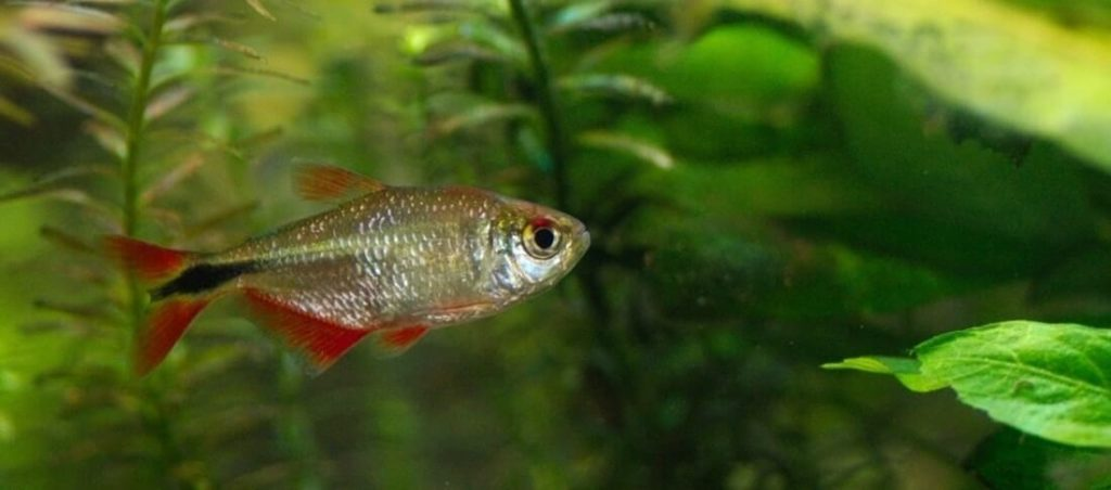 One Buenos Aires Tetra in a freshwater tank