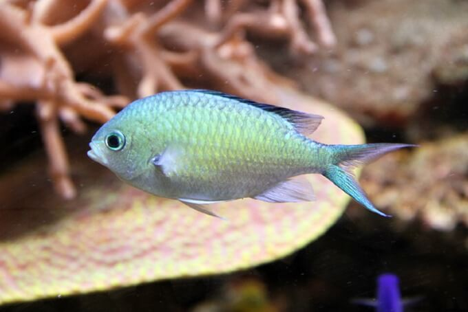 One healthy Chromis viridis searching for some food